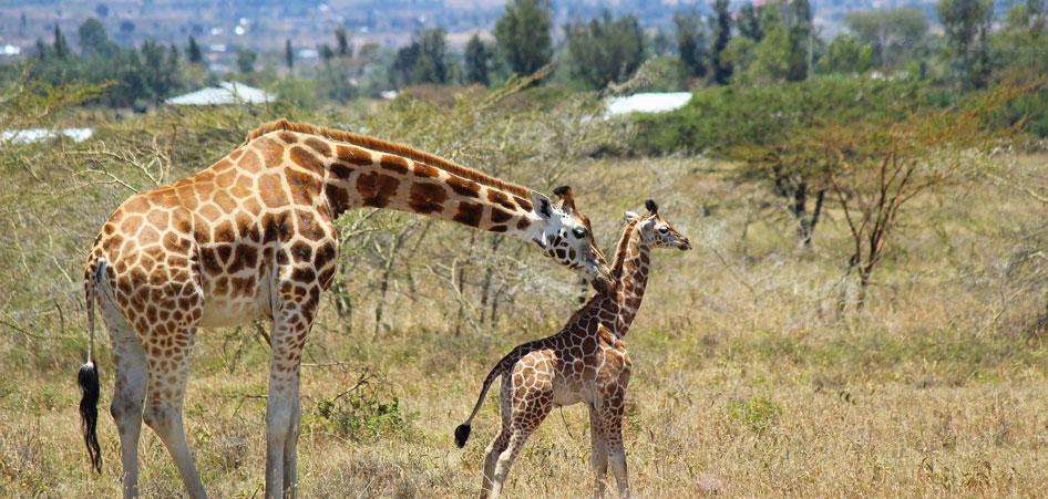 Rothschild Giraffes, Kenya, An Interview With The Vegan Couple, Justin Plus Lauren   TraveLibro Travel Blog