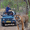 TraveLibro India Ranthambore National Park featured city How the Tigress reacted while we chased her at Ranthambore National Park