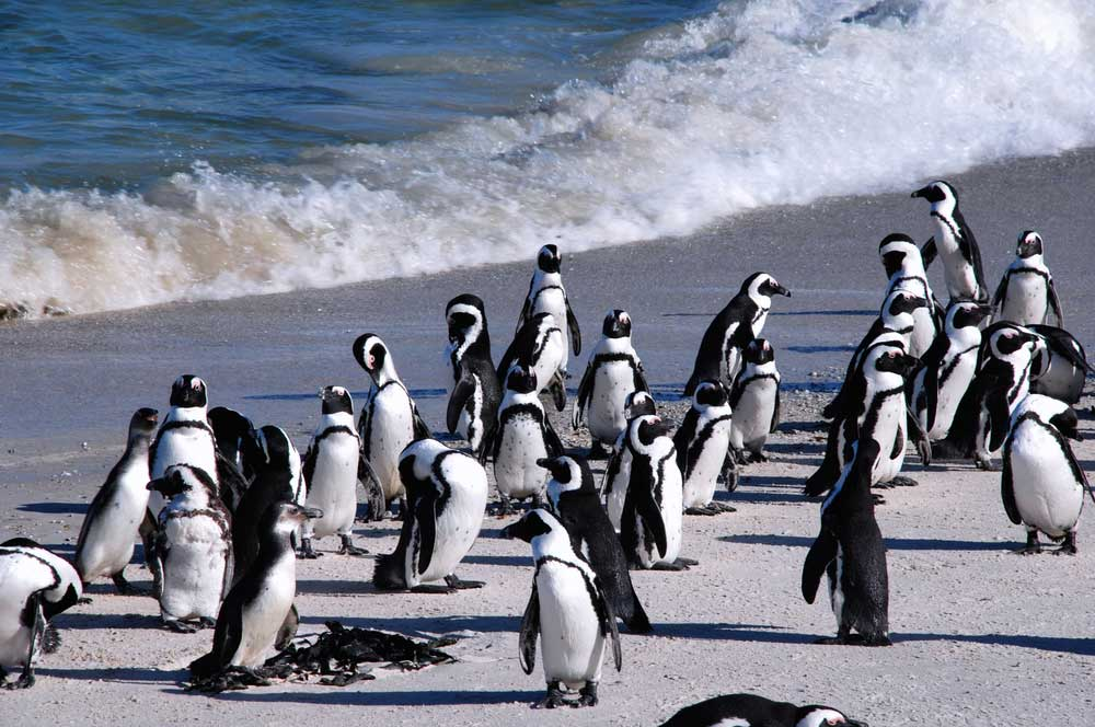 travelibro South Africa Cape Town The Cape Town Experience Penguins at Boulder Beach