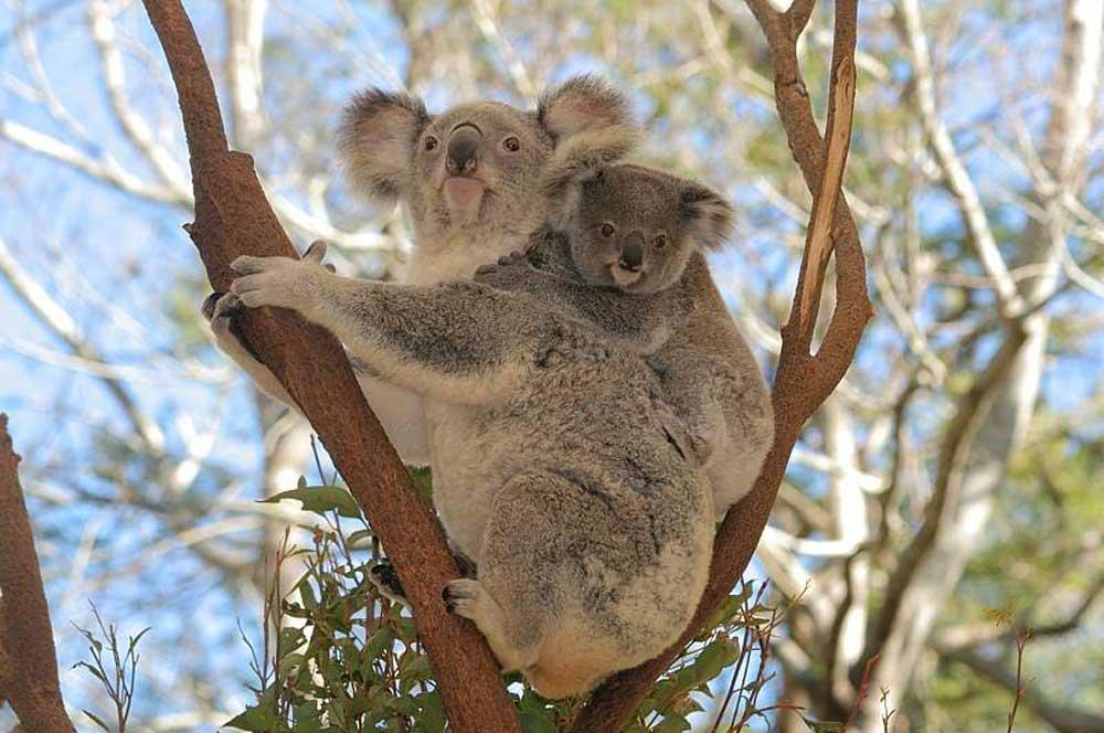 travelibro Australia Adelaide Brisbane Broome Darwin Gold Coast Melbourne Perth Sydney Whitsundays Australia Backpacking Lone Pine Koala Sanctuary
