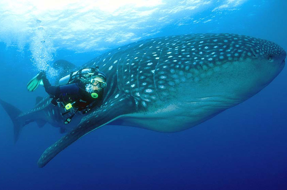 travelibro Maldives North Male Atoll Maldives Adventure Diving with Whale Sharks