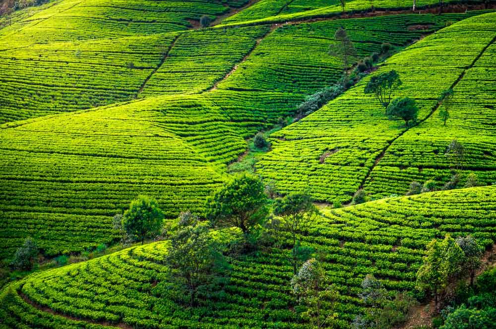 travelibro Sri Lanka Bentota Colombo Kandy Nuwara Eliya Sri Lanka Budget Tea Plantations