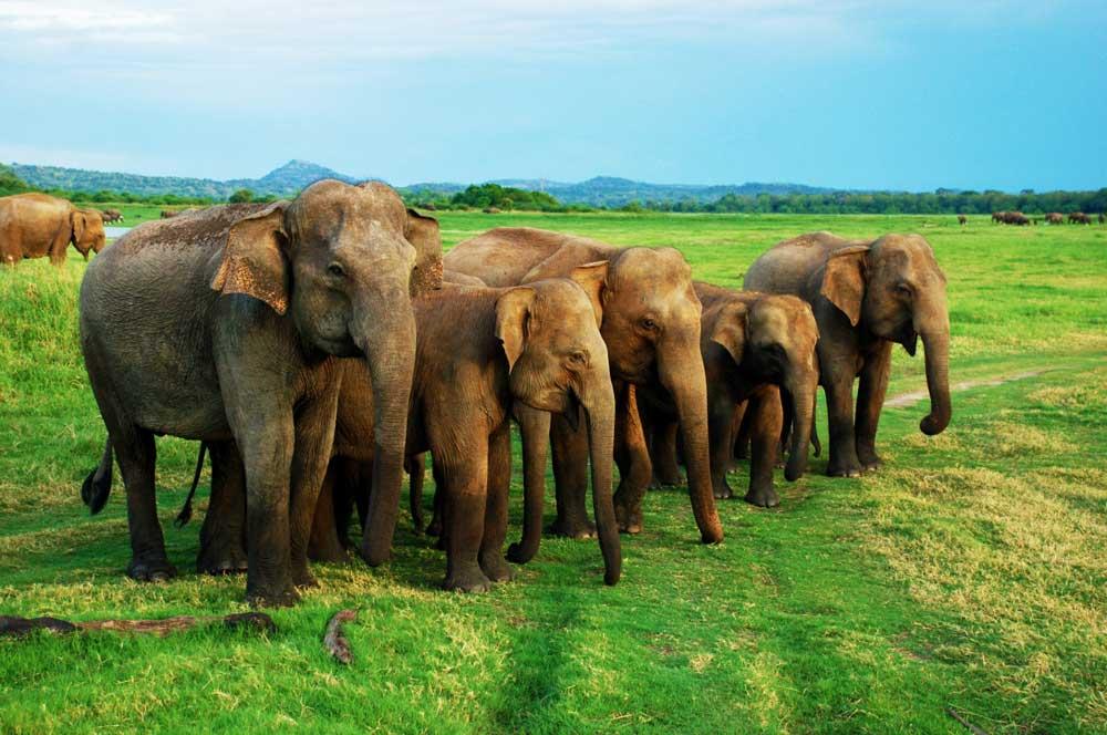 travelibro Sri Lanka Bentota Colombo Kandy Nuwara Eliya Sri Lanka Budget Minneriya National Park