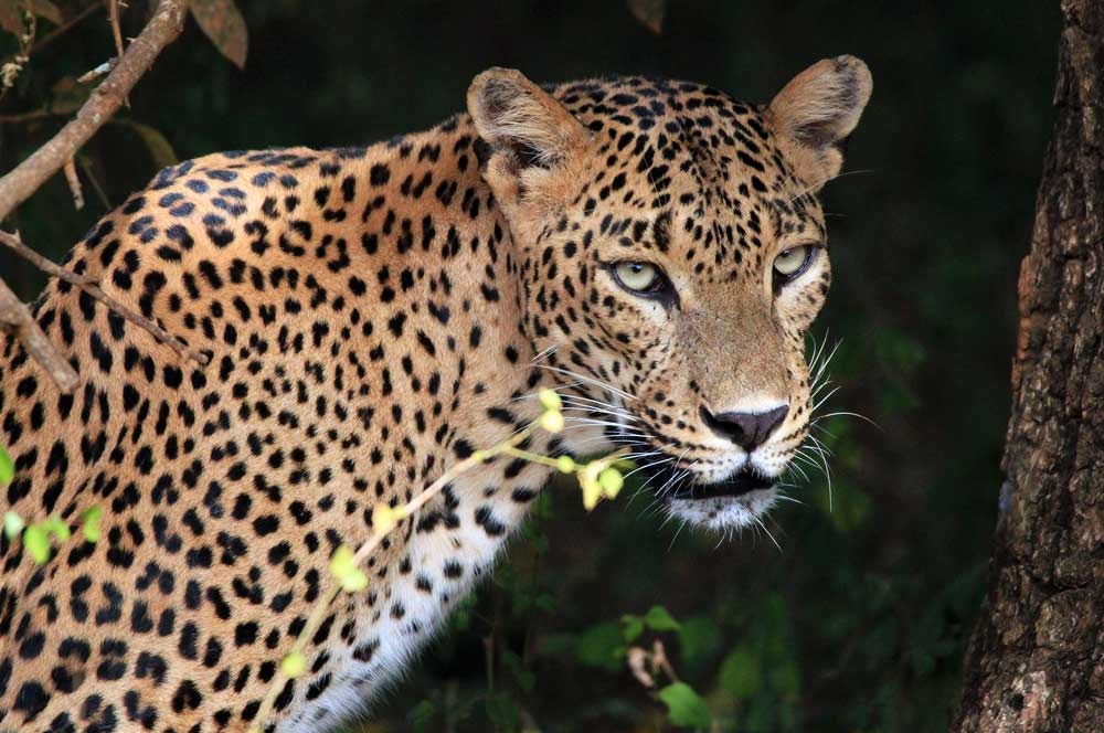 18 leopard in yala national park