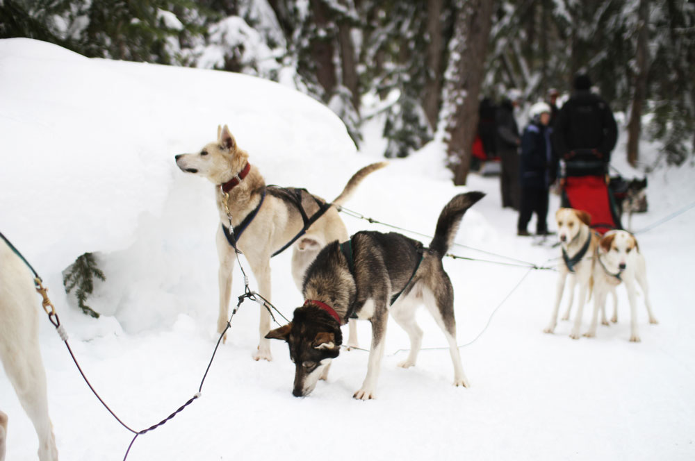 travelibro Canada Banff Montreal Toronto Vancouver Whistler Canada Budget Dog Sled Tour