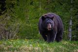 Black bear eating in grass parks canada slash ryan bray